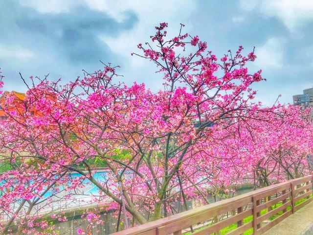 我家門前有櫻花-2019樂活夜櫻季櫻花特派員