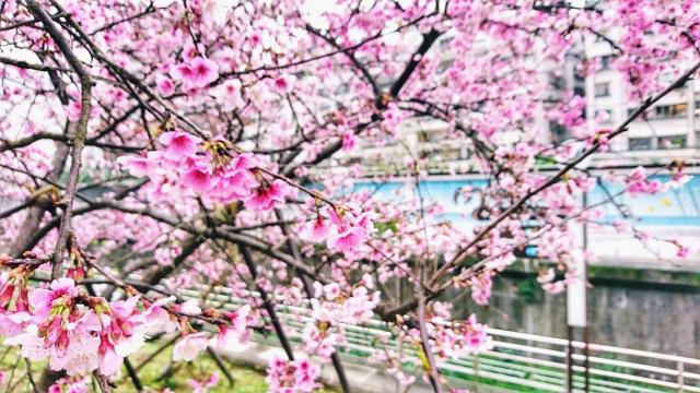 日櫻夜櫻季-2019樂活夜櫻季告白櫻花攝影大賽