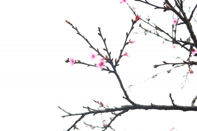簡單就是美-2019樂活夜櫻季告白櫻花攝影大賽