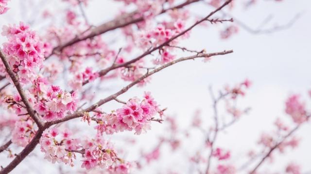 樂活櫻之美-2019樂活夜櫻季告白櫻花攝影大賽