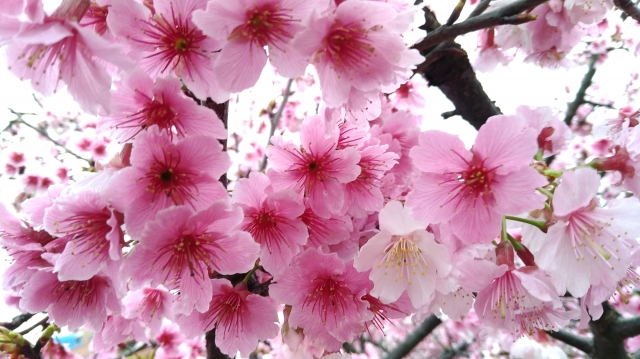 美櫻-2019樂活夜櫻季告白櫻花攝影大賽