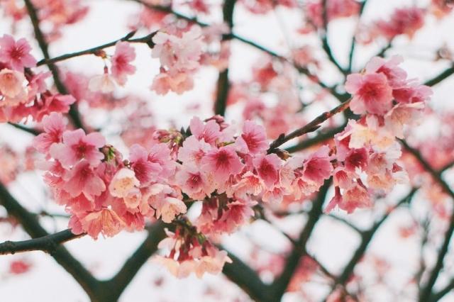 讓粉紅控融化的櫻花-2019樂活夜櫻季告白櫻花攝影大賽
