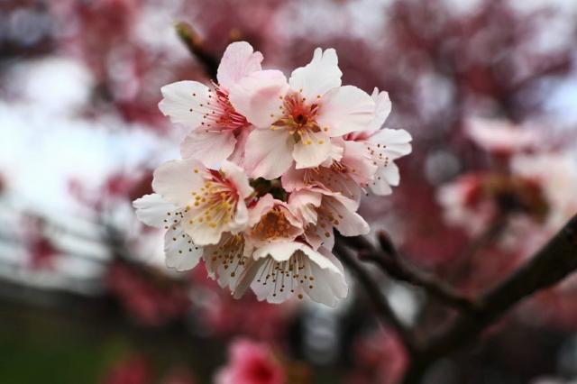 初戀的少女-2019樂活夜櫻季告白櫻花攝影大賽