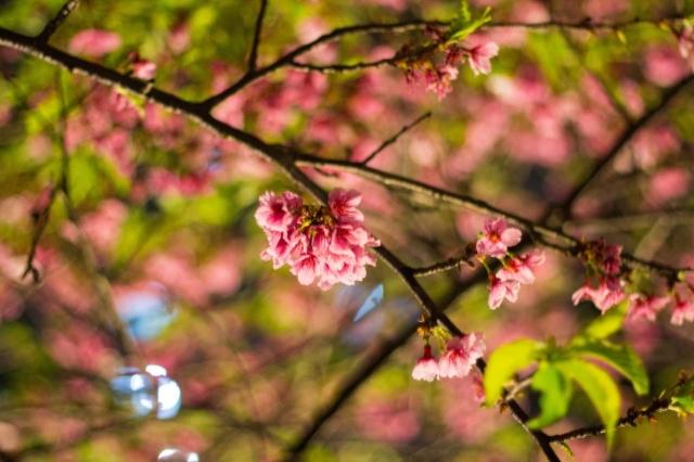 夜裡綻放的紅-2019樂活夜櫻季告白櫻花攝影大賽