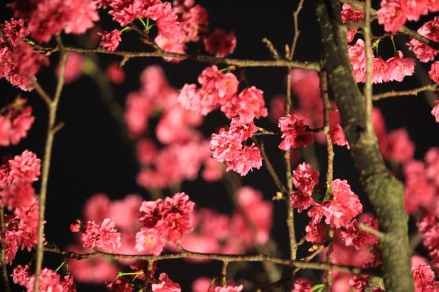 美,不限於在框架內-2019樂活夜櫻季告白櫻花攝影大賽