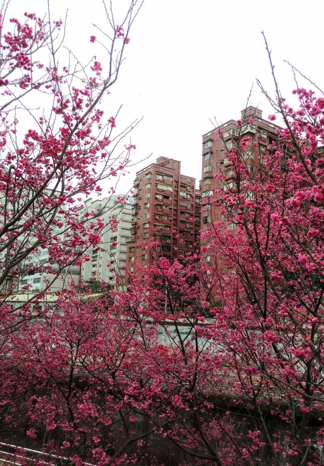 八重櫻-2019樂活夜櫻季告白櫻花攝影大賽